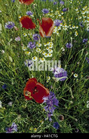 Meadow, cornflowers, Centaurea, cyanus L., poppy seed, Papaver spec., detail, flower meadow, flowers, blossoms, - Stock Photo