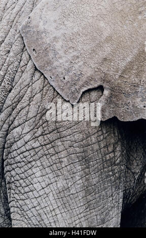 Zoo, African elephant, Loxodonta africana, close up, animal world, animals, animal, mammals, mammal, wild animals, - Stock Photo