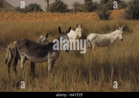 Chad, mesa country Ennedi, salt lake Ounianga Serir, west shore, donkey Central, Africa, landlocked country, Sahara, - Stock Photo