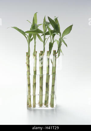 vase luck bamboo dracaena fragrans 39 stedneri 39 spiral glass vase stock photo royalty free. Black Bedroom Furniture Sets. Home Design Ideas
