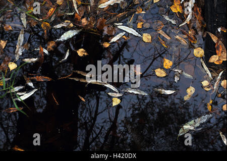 ponds surface in the middle of autumn coered by fallen birch leaves - Stock Photo