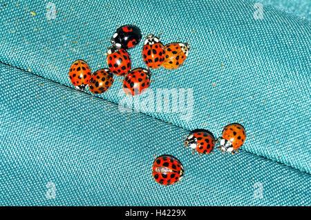 Harlequin Ladybirds hibernating on a parasol. - Stock Photo