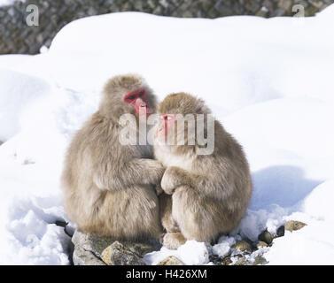 Japan, Jigokudani national park, Rotgesichtsmakaken, Macaca fuscata, sit, warm up snow, rest Asia, wild monkey park, - Stock Photo