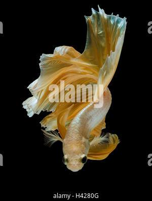 gold betta fish, fighting fish , siamese fighting fish isolated on black background - Stock Photo