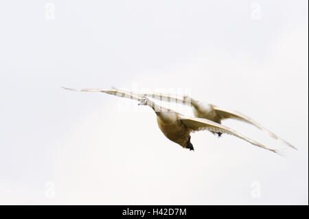 Hump swans, Cygnus olor, two, flight, - Stock Photo