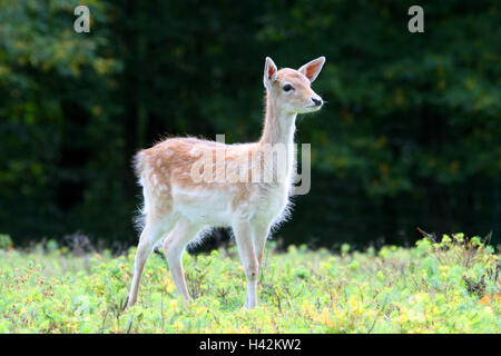 mammals of asia and fallow deer Fallow deer distribution native to southern europe, asia minor, and the middle east range relationships and demography of fallow and axis deer on point reyes.