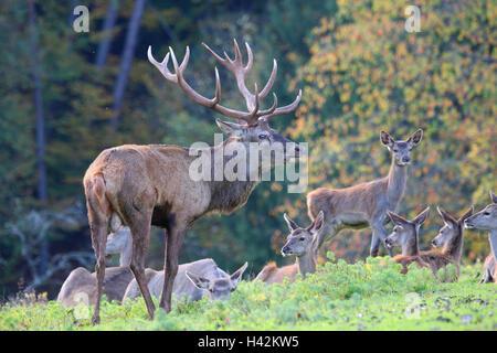 Meadow, red deer, deer, Cervus elaphus, space deer, herd, rut, autumn, edge the forest, animal world, Wildlife, - Stock Photo