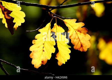 Common oak, Quercus robur, detail, branch, leaves, autumn, plants, broad-leaved trees, trees, foliage, autumn foliage, - Stock Photo
