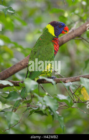 Rainbow loris, twig, - Stock Photo