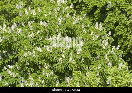 Common horse chestnut, Aesculus hippocastanum, detail, spring, - Stock Photo