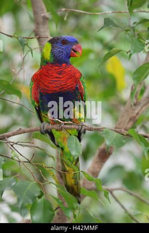 Rainbow loris, twig, - Stock Photo