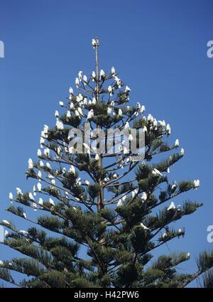 Australia, conifer, bare-eyed cockatoo, Cacatua sanguinea, from below, - Stock Photo