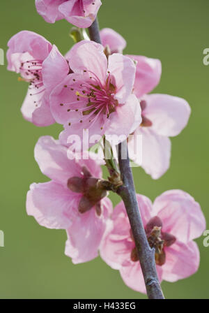 Apricot tree, blossoms, twig, - Stock Photo
