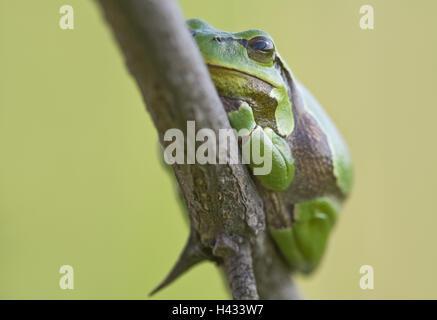 Frog, European tree frog, Hyla arborea, - Stock Photo