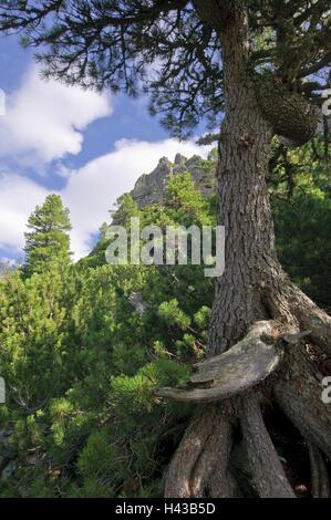 Tree, old, mountains, Strbske Pleso, national park the high Tatra Mountains, Presovsky kraj, Slovakia, - Stock Photo