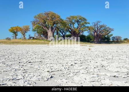 Old baobab (Adansonia digitata) trees, Baines Baobabs, salt pan in front, Kudiakam Pan, Nxai Pan National Park, - Stock Photo