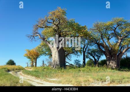 Old baobab (Adansonia digitata) trees, Baines Baobabs, Nxai Pan National Park, Botswana - Stock Photo