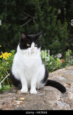 Cat, black-and-white, sit, defensive wall, animals, mammals, pets, small cats, Felidae, domesticates, house cat, - Stock Photo
