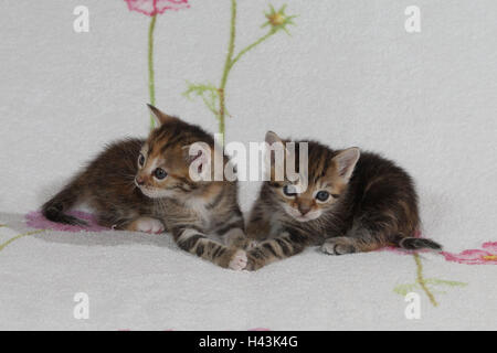 Cats, young, lie, together, bed, animals, mammals, pets, small cats, Felidae, domesticates, house cat, young animal, kitten, two, siblings, small, awkward, clumsy, sweetly, touch, striped, cohesion, love, suture, togetherness, young animals, animal babies, inside,