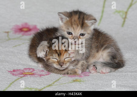 Cats, young, lie, stick, clean, affectionately, bed, animals, mammals, pets, small cats, Felidae, domesticates, house cat, young animal, kitten, two, behaviour, play, together, siblings, small, cuddle, leak affectionately, awkward, clumsy, sweetly, striped, love, suture, lick off, tiredly, doze, there sleep, affection, togetherness, young animals, animal babies, inside,
