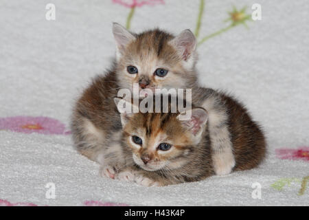 Cats, young, lie, snuggle up, affectionately, bed, animals, mammals, pets, small cats, Felidae, domesticates, house cat, young animal, kitten, two, behaviour, play, together, siblings, small, cuddle, embrace affectionately, awkward, clumsy, sweetly, striped, love, suture, tiredly, doze, affection, togetherness, young animals, animal babies, inside,