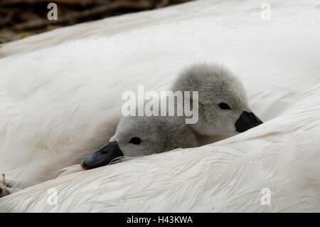 Mute swan, Cygnus olor, chicks, two, sleeping, plumage, covered, - Stock Photo