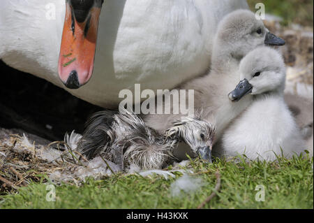 Mute swan, Cygnus olor, chick, detail, - Stock Photo