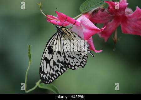Blossoms, butterfly, white tree nymph, Idea leuconoe, Germany, Mecklenburg-West Pomerania, island Usedom, butterfly's - Stock Photo