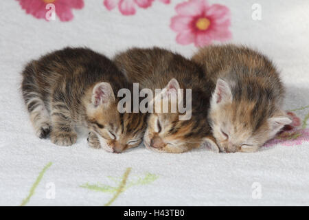 Cats, young, lie, sleep, together, bed, animals, mammals, pets, small cats, Felidae, domesticates, house cat, young animal, kitten, three, siblings, small, awkward, clumsy, helplessly, sweetly, side by side, cuddle, striped, love, fatigue, suture, togetherness, young animals, animal babies, inside,