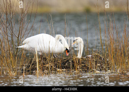 Hump swans, Cygnus olor, two, nest, hatch, - Stock Photo