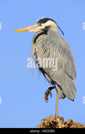 Grey heron, Ardea cinerea, side view, - Stock Photo