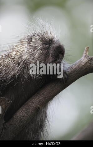 Tree, North American porcupine, Erethizon dorsatus, portrait, branch, zoo, game park, animals, wild animals, mammals, - Stock Photo