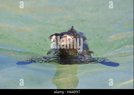 Glass penguin, Spheniscus demersus, swim, portrait, - Stock Photo