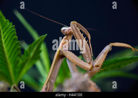 Macro detail of a Chinese mantis (Tenodera sinensis), a species of praying mantis native to Asia isolated on black - Stock Photo
