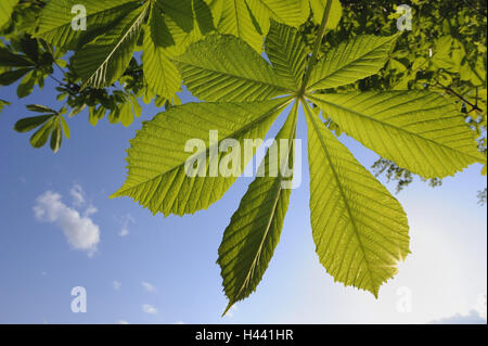 Horse chestnut, Aesculus hippocastanum, leaves, foliage, spring, sun, - Stock Photo