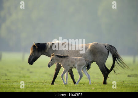 Dülmen wild horses, mare, foal, Germany, Nordrheinwestfahlen, place of interest, natural monument, Wildpferdgestüt, - Stock Photo