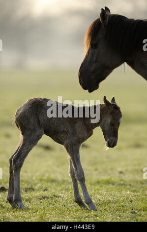 Dülmen wild horses, mare, detail, foal, at the side, Germany, Nordrheinwestfahlen, place of interest, natural monument, - Stock Photo
