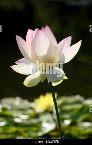 Indian lotus flower,