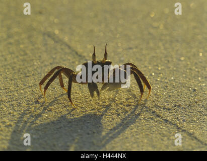 Beach, mind crab, Ocypode spec., Sand, sandy soil, animal, crab, wild animal, mind crab, ghost's crab, light, shade, - Stock Photo