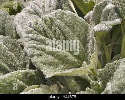 Wool leaf sage, Salvia argentea, detail, leaves, plants, mint family, Lamiaceae, sage, herbs, nature, leaf structure, - Stock Photo