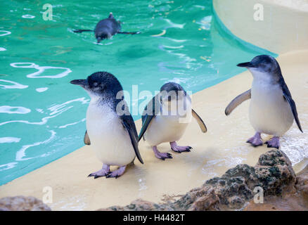 Little blue penguins standing on a ledge with one penguin swimming in the background at Penguin Island in Western - Stock Photo