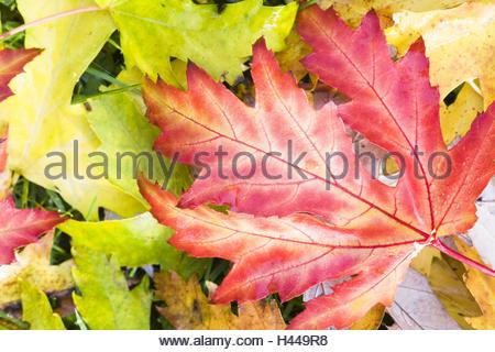 Autumn leaves, colourful, close-up, - Stock Photo