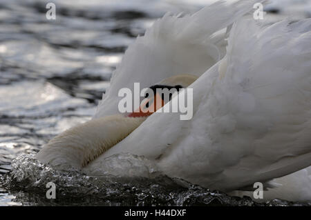 Mute swan, Cygnus olor, detail, - Stock Photo