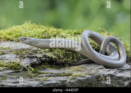 Blindworm, Anguis fragilis, Blindworm, - Stock Photo