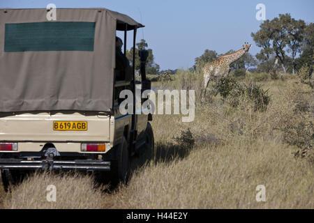 Africa, Botswana, North west District, Okawango delta, Moremi game reserve, giraffe, safari jeep, - Stock Photo