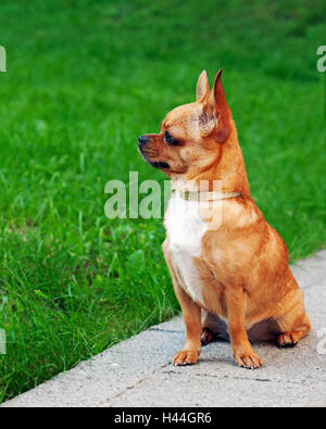 Red chihuahua dog sitting on green grass and looks into the distance. - Stock Photo