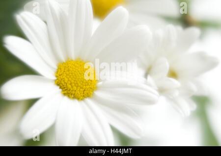 Margerite, medium close-up, Strauchmargerite, oxeye daisy blossom, plant, flower, vegetation, spring, botany, blossom, - Stock Photo