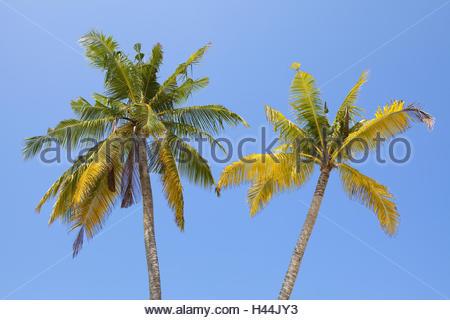 Coconut trees against blue sky, - Stock Photo