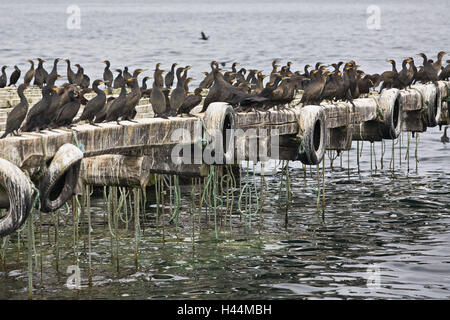 Africa, Namibia, Walvis Bay, oyster culture, cormorants, Phalacrocorax carbo, - Stock Photo