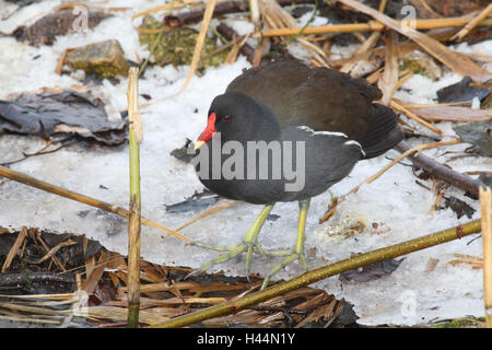 Pond chicken, Gallinula chlorine opus, - Stock Photo
